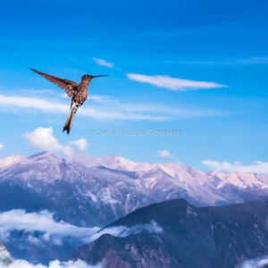 Colca-Schlucht Kolibri in Peru Anden Südamerika. Colca Canyon Hummingbird in Peru Andes South America